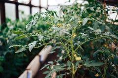 La planta es un tomate con una flor fotos de archivo libres de regalías