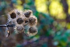 La planta espinosa de Herb Burdock o planta del Arctium de la familia del Asteraceae fotos de archivo libres de regalías
