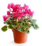 La planta floreciente de cyclamen Fotografía de archivo