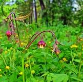 La planta floreciente del avens de agua en un prado Imagen de archivo