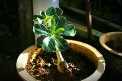 La planta hermosa de la momia en mi pequeño jardín imagenes de archivo