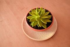 La planta hermosa parece un loto Planta en conserva decorativa encima imágenes de archivo libres de regalías