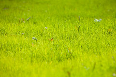 La planta joven de la hierba Fotografía de archivo