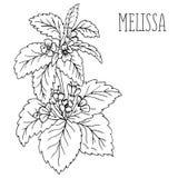 La planta Melissa Imágenes de archivo libres de regalías