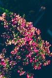 La planta ornamental de la Navidad llamó el brezo espinoso fotografía de archivo