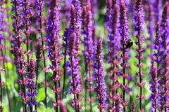 La planta sabia atrae insectos beneficiosos en el jardín Fotografía de archivo