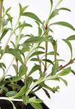 La planta sabrosa se va fresco Imagenes de archivo