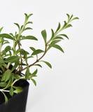 La planta sabrosa se va fresco Foto de archivo libre de regalías