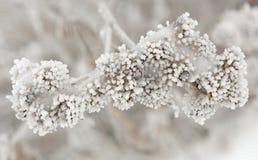 La planta se cubre con helada gruesa Fotografía de archivo