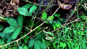 La planta sensible de Pudica de la mimosa reacciona al viento metrajes
