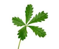 La planta verde con cinco hojas aisló Foto de archivo libre de regalías