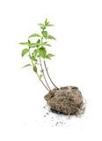 La planta verde crece en el suelo Fotos de archivo libres de regalías