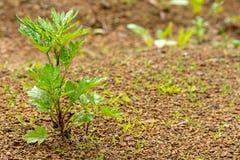 La planta verde joven crece a través de la tierra rocosa imagen de archivo libre de regalías