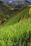 La plantación de la cebolla que está en argapura Fotos de archivo libres de regalías