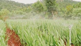 La plantación de flores se riega con agua automática Vietnam almacen de metraje de vídeo