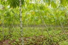 Plantación de la mandioca Imagenes de archivo