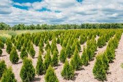 La plantación de los almácigos del Thuja conífero de los arbustos, Thuya plantó filas imagenes de archivo
