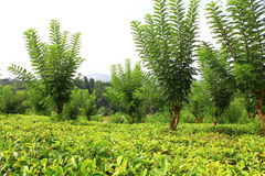 La plantación de té cerca de Kandy Fotos de archivo libres de regalías