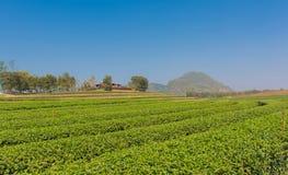 La plantación de té en granja en horario de verano tiene cielo azul Imágenes de archivo libres de regalías