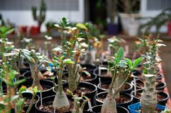 La plantación del succulent de hojas caducas planta el Adenium en invernadero Plantas exóticas resistentes a la sequía con el tal Foto de archivo libre de regalías