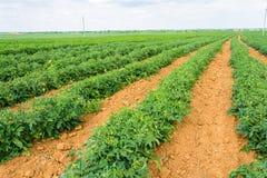 La plantación del tomate Fotografía de archivo libre de regalías
