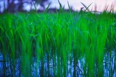 La plantación maderera verde del arroz crece en la puesta del sol Fotos de archivo libres de regalías