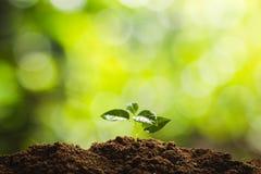 La plantation de la croissance d'arbre d'arbres semant la quatrième graine d'étape est un arbre images libres de droits