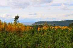 La plantation de forêt Jeunes arbres de pin Photographie stock libre de droits