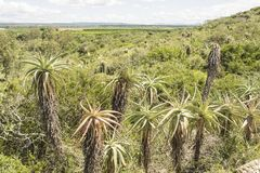 La plantation de l'aloès plante l'élevage du côté d'une colline Photographie stock libre de droits