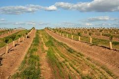 La plantation du citron Image libre de droits
