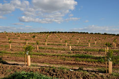 La plantation du citron Image stock