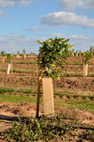 La plantation du citron Photo stock