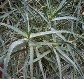 La plante d'aloès cultivée à l'intérieur image libre de droits