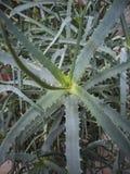 La plante d'aloès cultivée à l'intérieur photo libre de droits