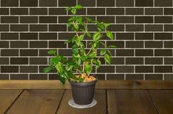 La plante d'intérieur avec le vert part dans un pot de fleurs sur un en bois brun merci Photographie stock
