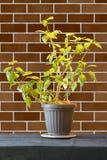 La plante d'intérieur avec le vert part dans un pot de fleurs sur un en bois brun merci Images stock