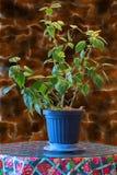 La plante d'intérieur avec le vert part dans un pot de fleurs sur un en bois brun merci Images libres de droits