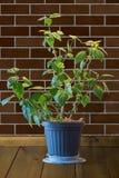 La plante d'intérieur avec le vert part dans un pot de fleurs sur un en bois brun merci Photo stock