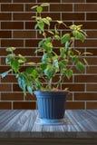La plante d'intérieur avec le vert part dans un pot de fleurs sur un en bois brun merci Photographie stock libre de droits