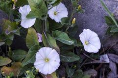 La plante de lierre et les fleurs blanches entre les pierres de trottoir, l'usine du lierre, Photo libre de droits