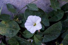 La plante de lierre et les fleurs blanches entre les pierres de trottoir, l'usine du lierre, Images libres de droits
