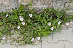 La plante de lierre et les fleurs blanches entre les pierres de trottoir, l'usine du lierre, Images stock