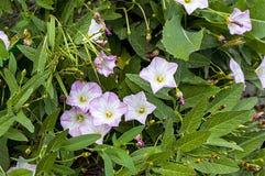 La plante de lierre et les fleurs blanches entre les pierres de trottoir, l'usine du lierre, Image libre de droits