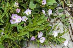 La plante de lierre et les fleurs blanches entre les pierres de trottoir, l'usine du lierre, Photos libres de droits