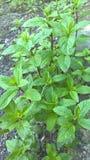 La plante de menthe poivrée cultivée dans le jardin botanique Images libres de droits