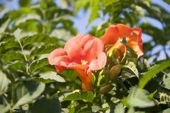 la plante grimpante de trompette est des espèces de l'usine fleurissante du Bignoniaceae de famille image stock