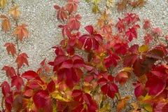 La plante grimpante rouge part sur le mur en pierre d'un bâtiment Images libres de droits