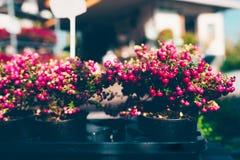 La plante ornementale de Noël a appelé la bruyère épineuse photographie stock libre de droits