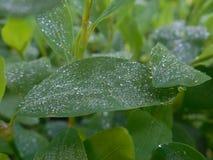 La plante verte avec de l'eau se laisse tomber sur les feuilles Photos libres de droits