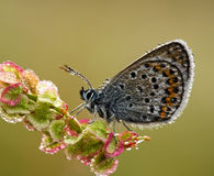 La plata tachonó la mariposa azul con amanecer de la mañana con referencia a Imagen de archivo